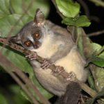 アンゴラドワーフガラゴの鳴き声とは?新種の霊長類の画像や生態は?