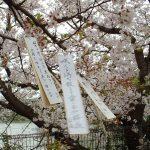 土居よしたね(善胤)の桧原桜(ひばるさくら)公園の画像(写真)場所、アクセスは?【Wiki】
