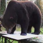 ジュウソ(熊の画家)の絵の画像や価格は?スロ・カルヤライネンがヒグマの孤児を育てる!
