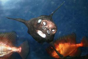 オロシザメとは?画像やWiki、生態や名前の由来、見れる水族館は?【動画あり】