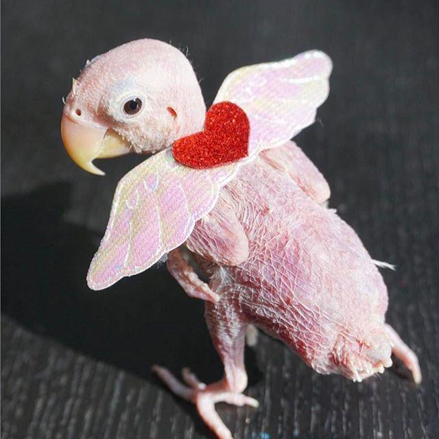レアはPBFDで羽毛がない鳥に!原因は?イザベラとの画像や動画が可愛くて毛糸の服が世界中から集まる!