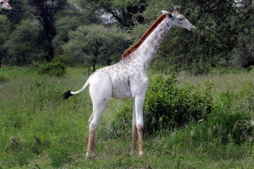 白キリン(オモ)の画像や名前の由来、生息場所は?白い原因はリューシスティック(白変種)?リアルソフィー?