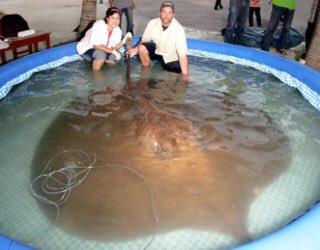 ブラキューラの正体は淡水エイ?怪魚の生体(大きさ・重さ)や毒、画像は?【何だコレミステリー】