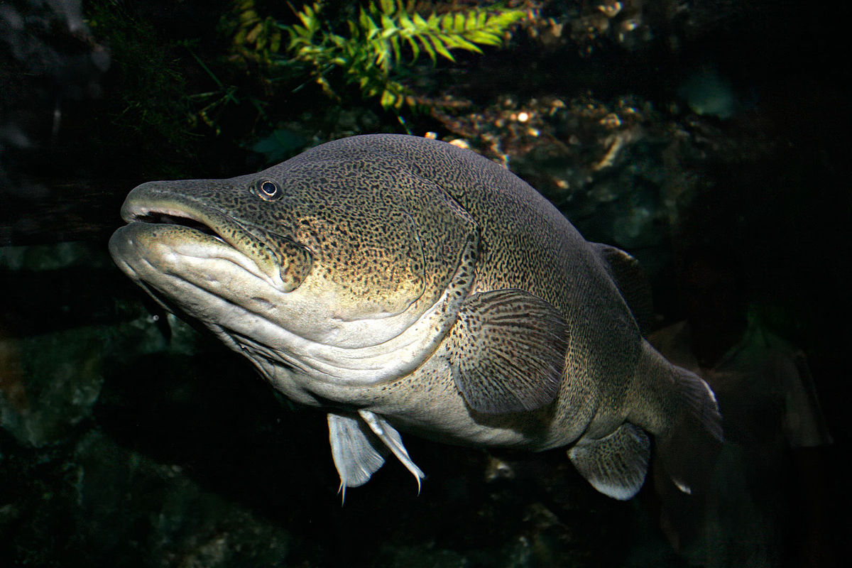 マーレーコッドの生態や味、画像や釣り動画、日本での飼育は?琵琶湖に生息?【オーストラリアの怪魚】